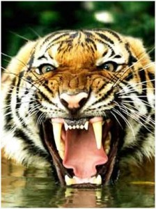 tigre boca