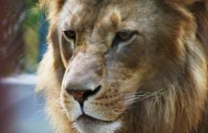 leon vs tigre