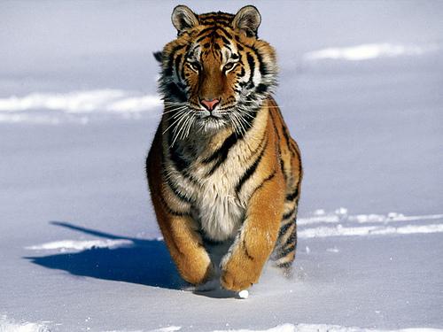 Fotos de tigres siberianos 34