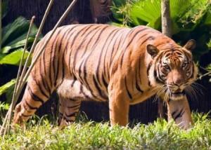 tigre de lado