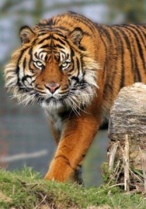 tigre de frente