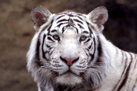 Evolución de los tigres » TIGREPEDIA