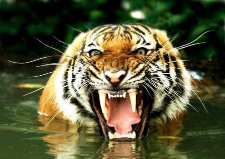 boca tigre