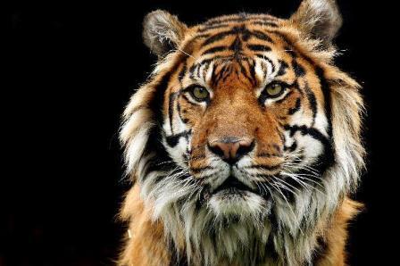 Los tigres y los humanos » TIGREPEDIA