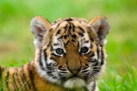 Cómo comprar cachorros de tigres » TIGREPEDIA