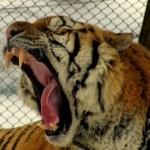 boca perfil tigre