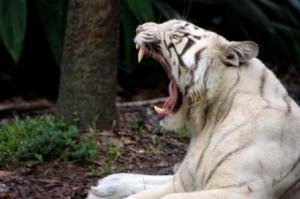 boca tigre blanco