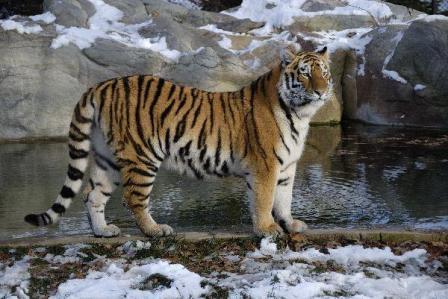 tigre parado