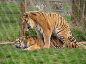 tigres apareandose