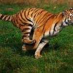 tigre corriendo