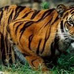 fotografia de tigre de bengala