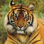 cara de tigre de bengala