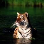 tigre de bengala nadando